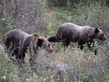 Two Grizzly Bears eating berries, Banff