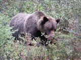 Grizzly Bear eating berries, Banff