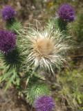 Native Thistle