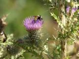 Bee in thistle