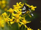 Moth in Groundsel