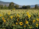 Sunflowers, corn, and blackbirds