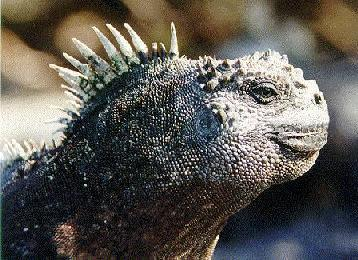 iguana from the Galapagos